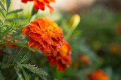 Orange blom- bakgrund av ringblommor Arkivfoto