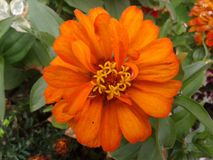 Orange blomma 06 royaltyfria bilder