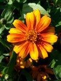 Orange blomma Arkivfoton