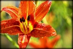 Orange blomma Royaltyfria Bilder