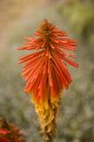 Orange blomma Royaltyfri Fotografi