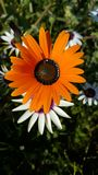 Orange blomma Royaltyfria Foton