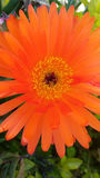 Orange blomma Royaltyfria Bilder