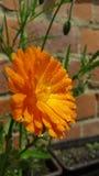 Orange blomma Fotografering för Bildbyråer