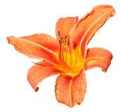 Orange blomma av daylilyslutet som isoleras upp Royaltyfria Bilder