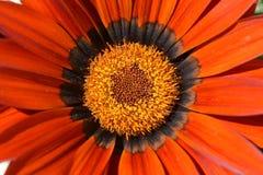 Orange blomma close upp specificera fotografering för bildbyråer