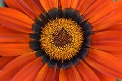 Orange blomma close upp specificera royaltyfri bild