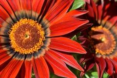 Orange blomma close upp specificera royaltyfria foton