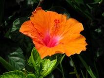 Orange blomma för hibiskus Fotografering för Bildbyråer