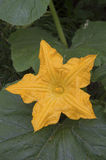 Orange blomma för Muskmelon (Cucumismelo) Royaltyfri Foto