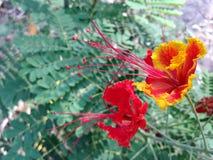 Orange blomma för påfågelblomma Royaltyfria Foton