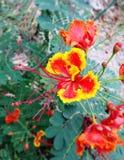 Orange blomma för påfågelblomma Royaltyfria Bilder