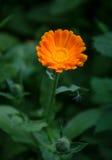 Orange blomma i gräs Arkivfoton