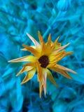 Orange blomma med blå bakgrund Arkivfoton