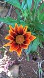 Orange blomma med bruna detaljer Royaltyfri Foto