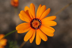 Orange blomma med den mörka cirkeln Fotografering för Bildbyråer