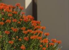 Orange blomma, nåldynaprotea Royaltyfri Bild