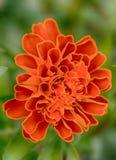 Orange blomma arkivbilder