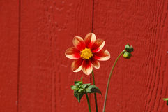 Orange blomma vid ladugården Royaltyfri Foto