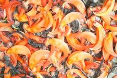 Orange blommabakgrund, Sesbania grandiflora blommabackgroud arkivfoton