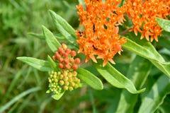 Orange blommablomningar Arkivfoton