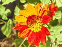 Orange blommacloseup Arkivbilder