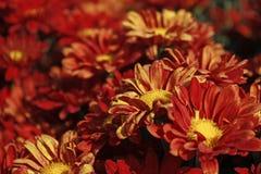 Orange blommacloseup i fältet i motsats arkivbild
