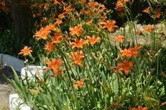 Orange blommadaylily, BUSKE som VÄXER I BLOMSTERRABATTEN I TRÄDGÅRDEN arkivfoto