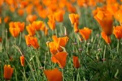 Orange blommafält i suddighetsbakgrunder royaltyfria bilder