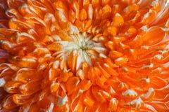 Orange blommakronblad. Royaltyfri Fotografi