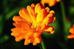 Orange blommamakro Fotografering för Bildbyråer
