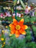 Orange blommamutisia arkivbild
