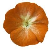 Orange blommapelargon Vit isolerad bakgrund med den snabba banan Closeup inga skuggor Fotografering för Bildbyråer