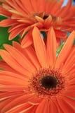 Orange blommor Royaltyfri Fotografi