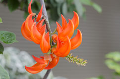 Orange blommor av den New Guinea rankan. Royaltyfri Bild