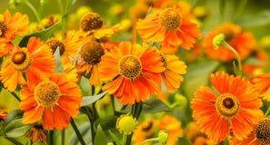 Orange blommor av lycka Royaltyfri Fotografi