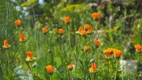 Orange blommor av ringblomman i vinden lager videofilmer