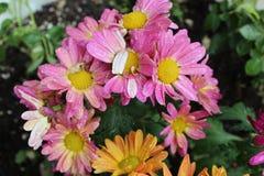 Orange blommor och rosa a fotografering för bildbyråer