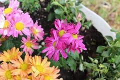 Orange blommor som är rosa och arkivbilder