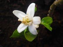 Orange blomning Fotografering för Bildbyråer