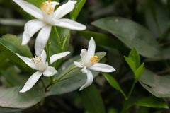 Orange Blomning-citrus reticulata Blanco Royaltyfria Bilder