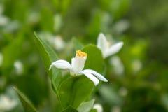 Orange Blomning-citrus reticulata Blanco Fotografering för Bildbyråer