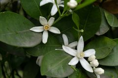 Orange Blomning-citrus reticulata Blanco Royaltyfri Bild