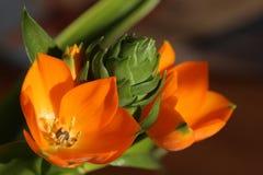 Orange blomningar av Ornithogalumdubiumen, stjärnan av Betlehem Fotografering för Bildbyråer