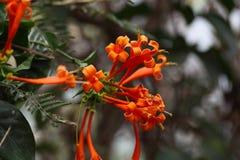 Orange blomningar av Ruttya Arkivbild
