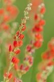 Orange blomningar för jordklotblomma Royaltyfria Bilder
