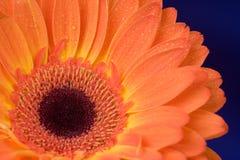 Orange bloom Royalty Free Stock Photos
