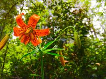 Orange bloom. Orange flower blossom Royalty Free Stock Photography