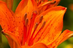Orange bloom of lily. With blurred background Stock Image