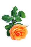 Orange blooming flower Royalty Free Stock Images